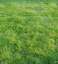 emerald zoysia grass