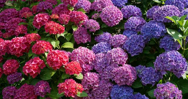 How to care for hydrangeas? Get here.