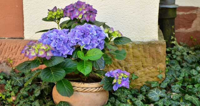 how to care hydrangeas in pot over winter?