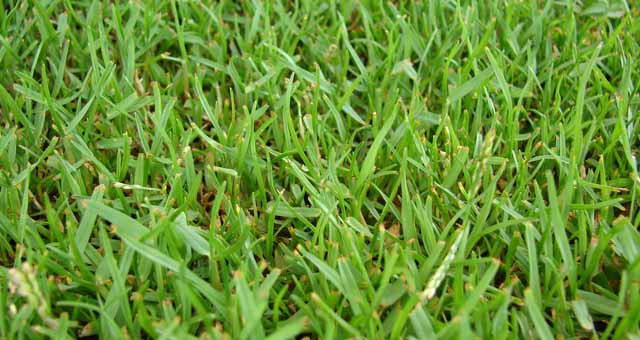 how to solve zoysia grass problems