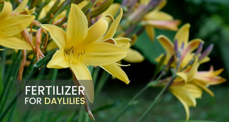 best fertilizer for daylilies