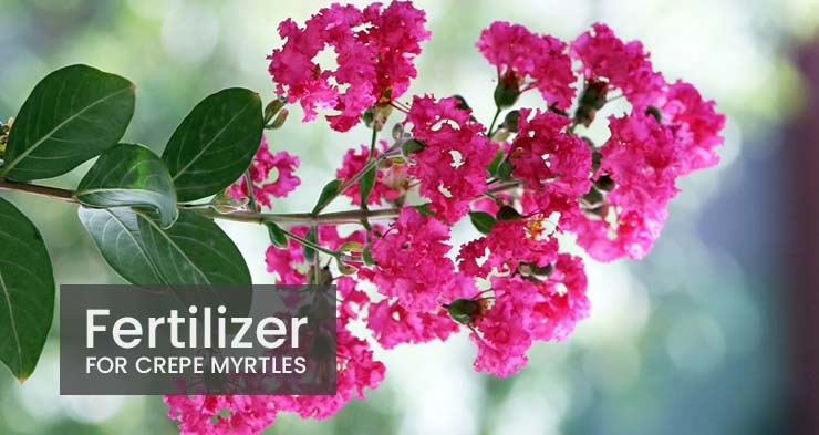 fertilizer for crepe myrtles