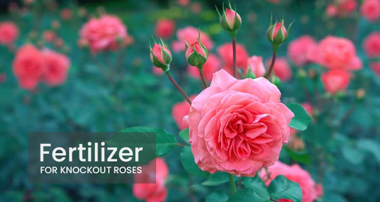 best fertilizer for knockout roses